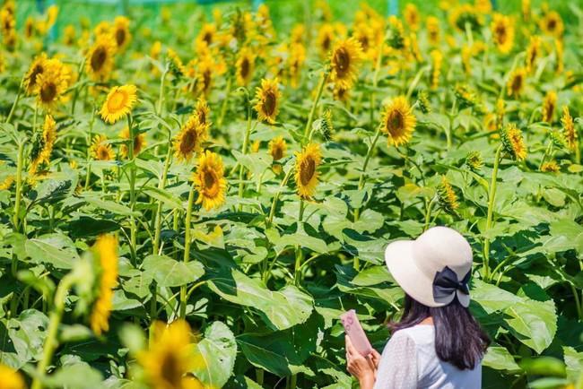 Cánh đồng hoa hướng dương triệu bông đẹp như bức tranh khổng lồ vào mùa thu ở Nhật Bản - Ảnh 3.