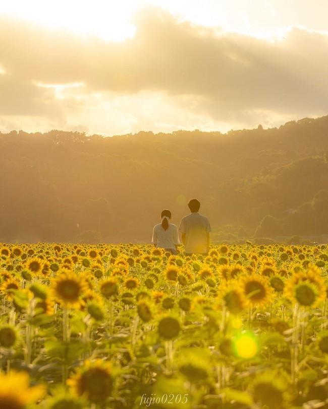 Cánh đồng hoa hướng dương triệu bông đẹp như bức tranh khổng lồ vào mùa thu ở Nhật Bản - Ảnh 8.