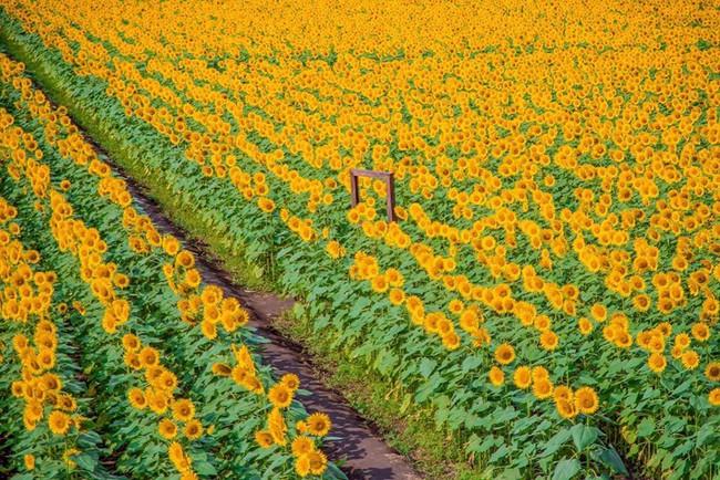 Cánh đồng hoa hướng dương triệu bông đẹp như bức tranh khổng lồ vào mùa thu ở Nhật Bản - Ảnh 13.