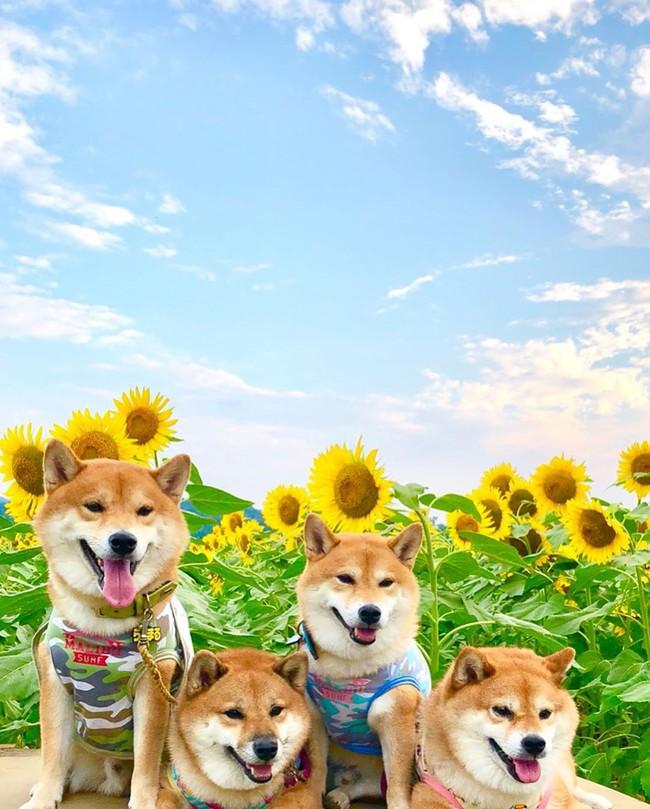 Cánh đồng hoa hướng dương triệu bông đẹp như bức tranh khổng lồ vào mùa thu ở Nhật Bản - Ảnh 15.