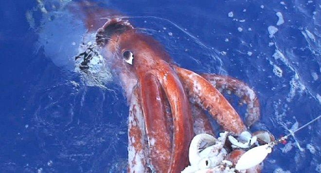 Mực khổng lồ dài hơn 5m liên tục sa lưới ngư dân - Ảnh 3.
