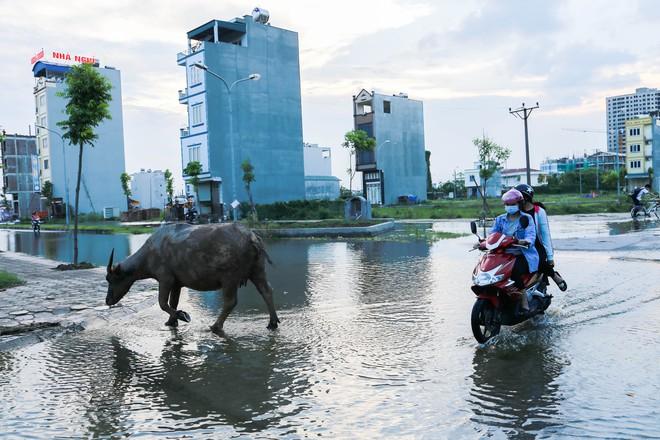 Hà Nội: Ngập úng quanh năm, người dân thả vịt ngay trên đường khu đô thị - Ảnh 4.