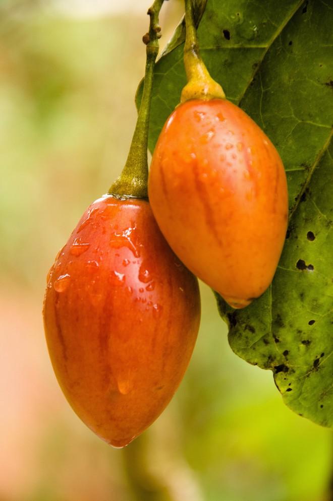 Những sự thật có thể gây sốc về quả cà chua ai cũng từng ăn - Ảnh 8.