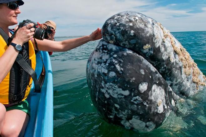 Hình ảnh cực lạ, cá voi khổng lồ ngoi lên mặt nước để được du khách vuốt ve - Ảnh 1.