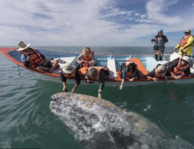 Hình ảnh cực lạ, cá voi khổng lồ ngoi lên mặt nước để được du khách vuốt ve - Ảnh 8.