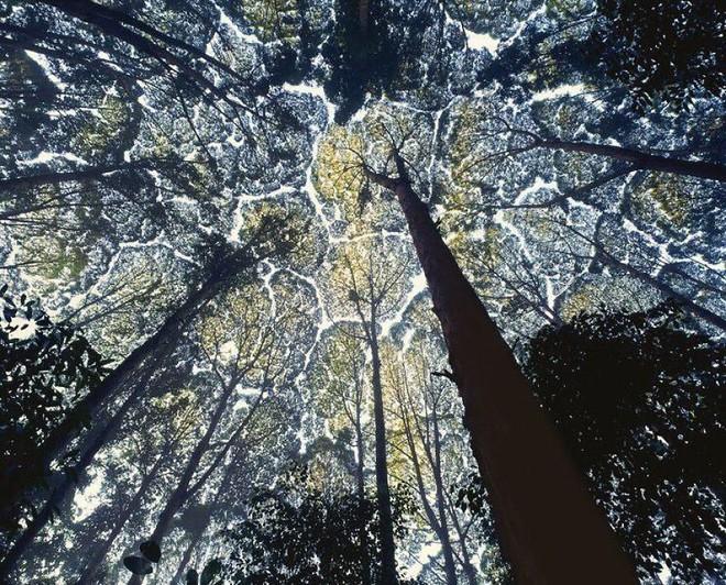 Không phải ảnh photoshop, đây là hiện tượng cực lạ ở một số loài cây - Ảnh 1.
