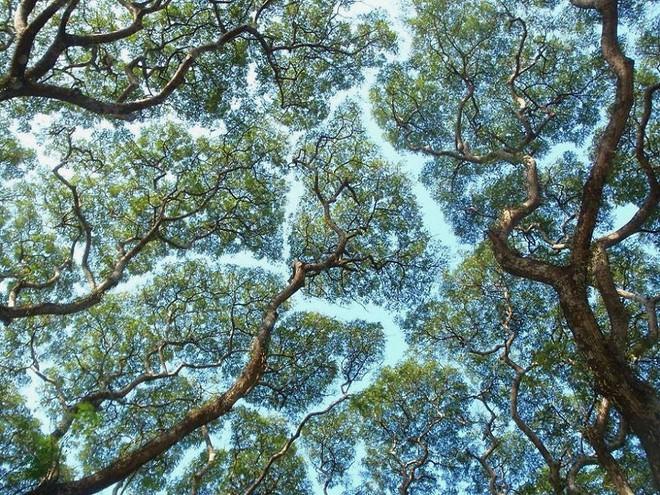 Không phải ảnh photoshop, đây là hiện tượng cực lạ ở một số loài cây - Ảnh 2.