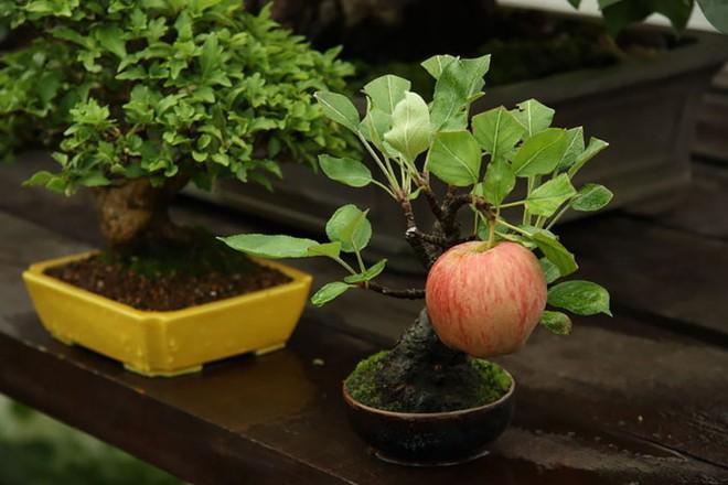 10 chậu bonsai cây ăn trái mini siêu đẹp dùng trang trí nhà dịp Tết - Ảnh 4.