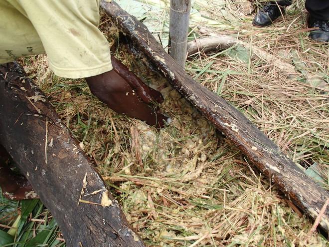 Thấy người dân đổ đống chuối vào thân cây gỗ rồi giẫm nát, ai cũng ghê nhưng không ngờ đây là thức uống vạn người mê - Ảnh 8.