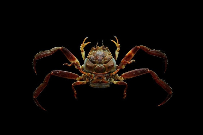 Strange crabs with identical human faces - Photo 3.