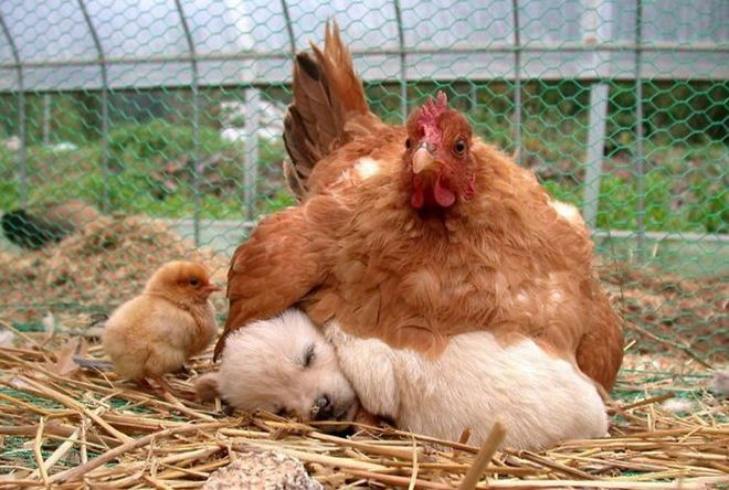 Những hình ảnh hài hước chứng minh gà mới đích thị là mẹ muôn loài - Ảnh 1.