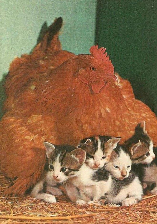 Những hình ảnh hài hước chứng minh gà mới đích thị là mẹ muôn loài - Ảnh 12.