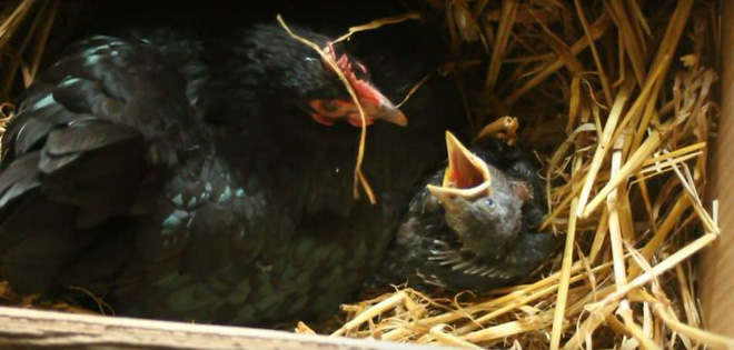 Những hình ảnh hài hước chứng minh gà mới đích thị là mẹ muôn loài - ảnh 13