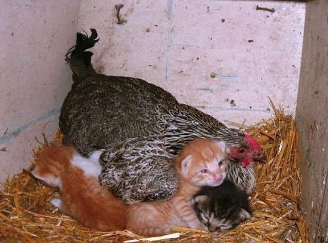Những hình ảnh hài hước chứng minh gà mới đích thị là mẹ muôn loài - Ảnh 3.