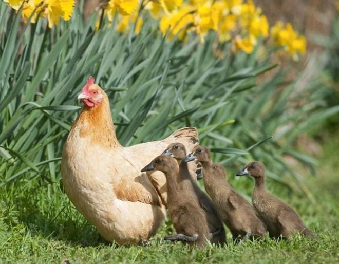 Những hình ảnh hài hước chứng minh gà mới đích thị là mẹ muôn loài - ảnh 5