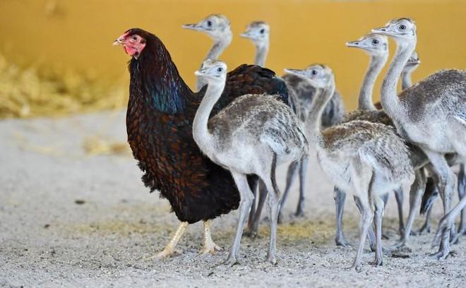 Những hình ảnh hài hước chứng minh gà mới đích thị là mẹ muôn loài - ảnh 8