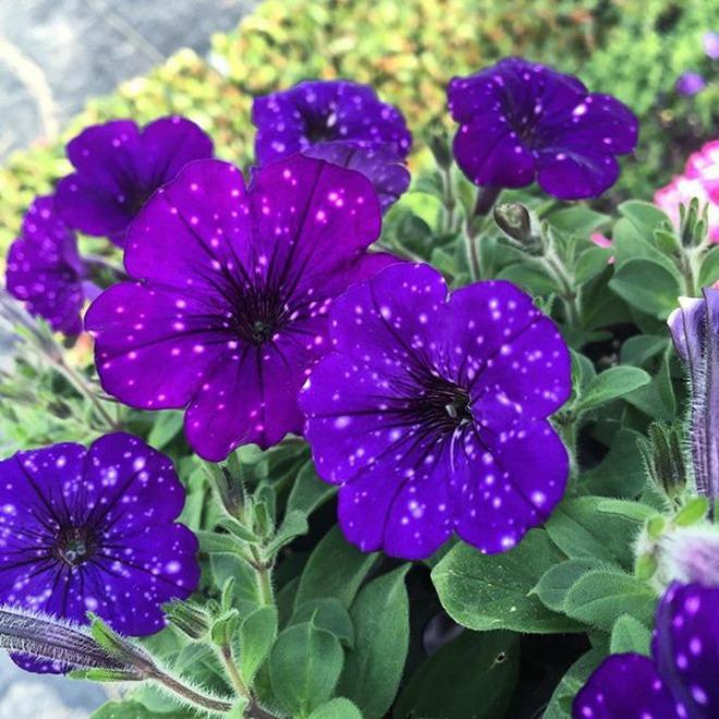 Những bông hoa kỳ lạ như chứa cả vũ trụ lung linh ngàn sao - ảnh 3