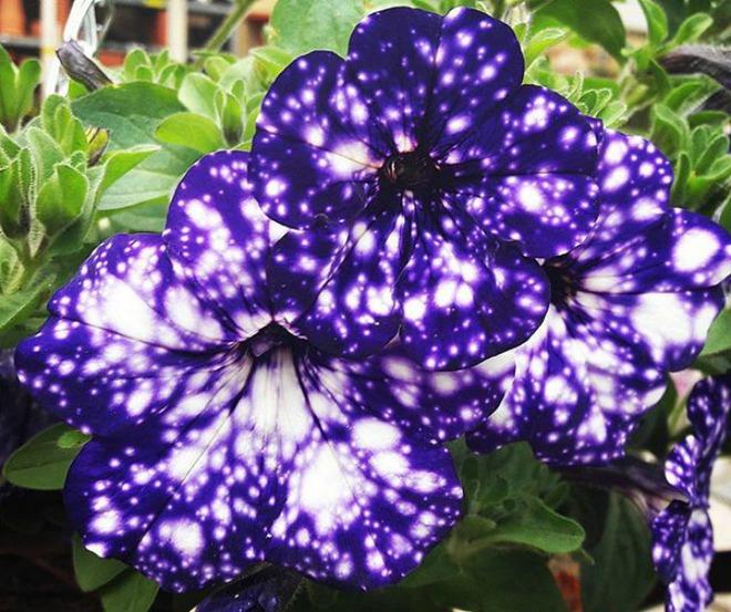 Những bông hoa kỳ lạ như chứa cả vũ trụ lung linh ngàn sao - ảnh 8