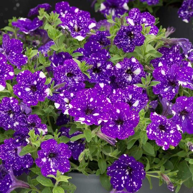 Những bông hoa kỳ lạ như chứa cả vũ trụ lung linh ngàn sao - ảnh 6