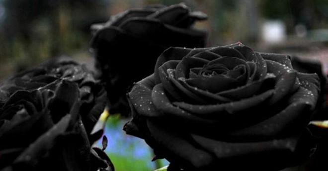 Xôn xao loài hoa hồng đen cực quý hiếm, chỉ trồng được ở duy nhất 1 ngôi làng - Ảnh 1.