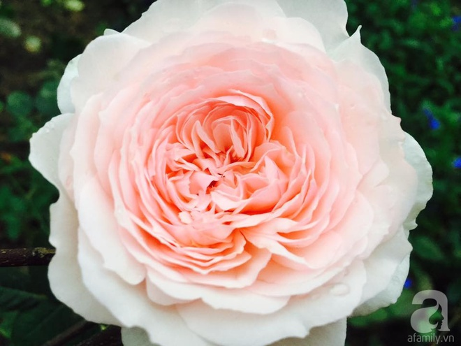 Khu vườn rộng gần nghìn m² đầy hoa và rau xanh của cô giáo dạy toán - Ảnh 29.