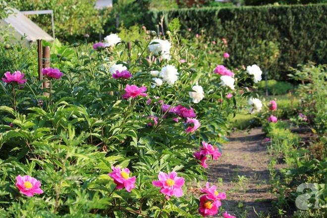 Khu vườn hoa mẫu đơn rộng 1000m² đẹp như trong cổ tích của mẹ Việt ở Đức  - Ảnh 1.