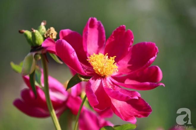 Mải mê ngắm nhìn vườn hoa mẫu đơn rộng 1000m2 của mẹ Việt ở trời Tây - Ảnh 4.