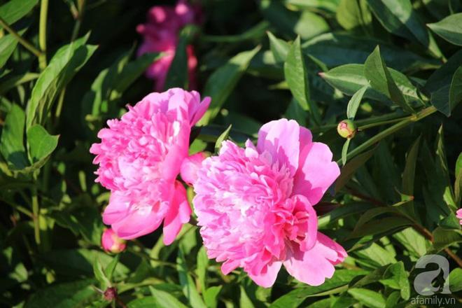 Khu vườn hoa mẫu đơn rộng 1000m² đẹp như trong cổ tích của mẹ Việt ở Đức  - Ảnh 3.