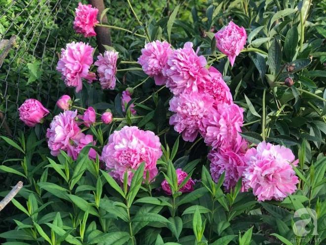 Khu vườn hoa mẫu đơn rộng 1000m² đẹp như trong cổ tích của mẹ Việt ở Đức  - Ảnh 5.