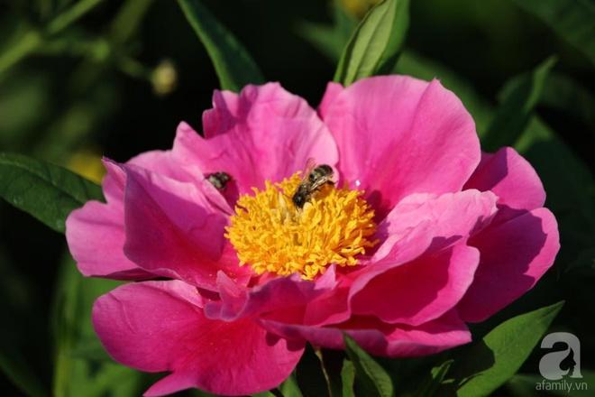 Khu vườn hoa mẫu đơn rộng 1000m² đẹp như trong cổ tích của mẹ Việt ở Đức  - Ảnh 6.