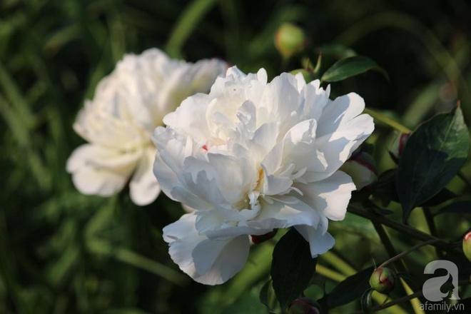 Khu vườn hoa mẫu đơn rộng 1000m² đẹp như trong cổ tích của mẹ Việt ở Đức  - Ảnh 7.