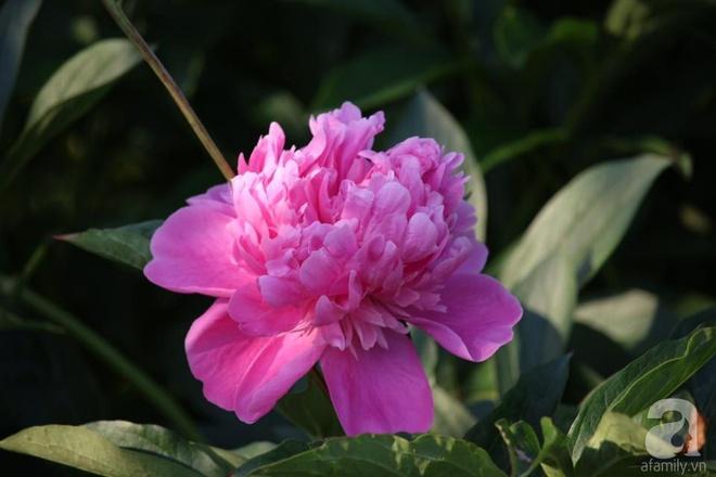 Khu vườn hoa mẫu đơn rộng 1000m² đẹp như trong cổ tích của mẹ Việt ở Đức  - Ảnh 8.