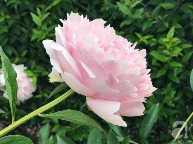 Khu vườn hoa mẫu đơn rộng 1000m² đẹp như trong cổ tích của mẹ Việt ở Đức  - Ảnh 9.