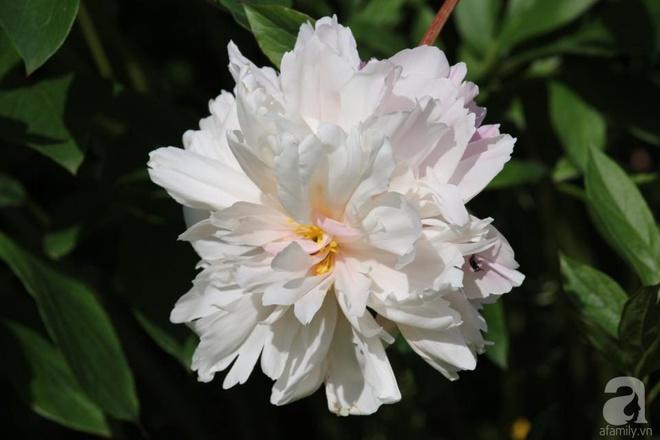 Khu vườn hoa mẫu đơn rộng 1000m² đẹp như trong cổ tích của mẹ Việt ở Đức  - Ảnh 10.
