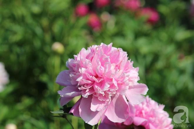 Khu vườn hoa mẫu đơn rộng 1000m² đẹp như trong cổ tích của mẹ Việt ở Đức  - Ảnh 11.