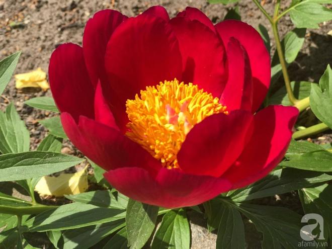 Khu vườn hoa mẫu đơn rộng 1000m² đẹp như trong cổ tích của mẹ Việt ở Đức  - Ảnh 15.