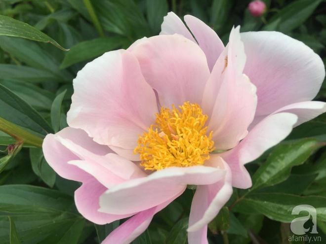 Khu vườn hoa mẫu đơn rộng 1000m² đẹp như trong cổ tích của mẹ Việt ở Đức  - Ảnh 16.