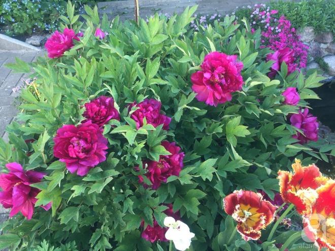 Khu vườn hoa mẫu đơn rộng 1000m² đẹp như trong cổ tích của mẹ Việt ở Đức  - Ảnh 17.