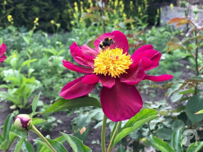 Khu vườn hoa mẫu đơn rộng 1000m² đẹp như trong cổ tích của mẹ Việt ở Đức  - Ảnh 18.