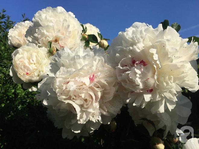Khu vườn hoa mẫu đơn rộng 1000m² đẹp như trong cổ tích của mẹ Việt ở Đức  - Ảnh 19.