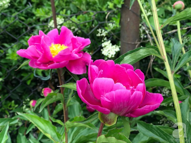 Khu vườn hoa mẫu đơn rộng 1000m² đẹp như trong cổ tích của mẹ Việt ở Đức  - Ảnh 20.