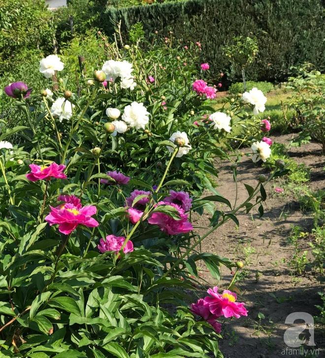 Khu vườn hoa mẫu đơn rộng 1000m² đẹp như trong cổ tích của mẹ Việt ở Đức  - Ảnh 21.