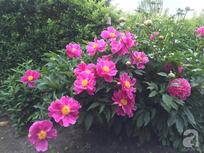 Khu vườn hoa mẫu đơn rộng 1000m² đẹp như trong cổ tích của mẹ Việt ở Đức  - Ảnh 27.