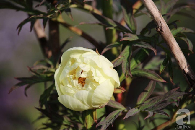 Khu vườn hoa mẫu đơn rộng 1000m² đẹp như trong cổ tích của mẹ Việt ở Đức  - Ảnh 28.