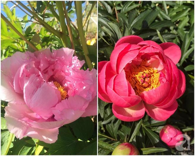 Khu vườn hoa mẫu đơn rộng 1000m² đẹp như trong cổ tích của mẹ Việt ở Đức  - Ảnh 29.