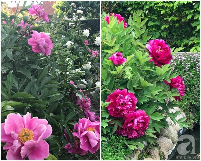 Khu vườn hoa mẫu đơn rộng 1000m² đẹp như trong cổ tích của mẹ Việt ở Đức  - Ảnh 30.