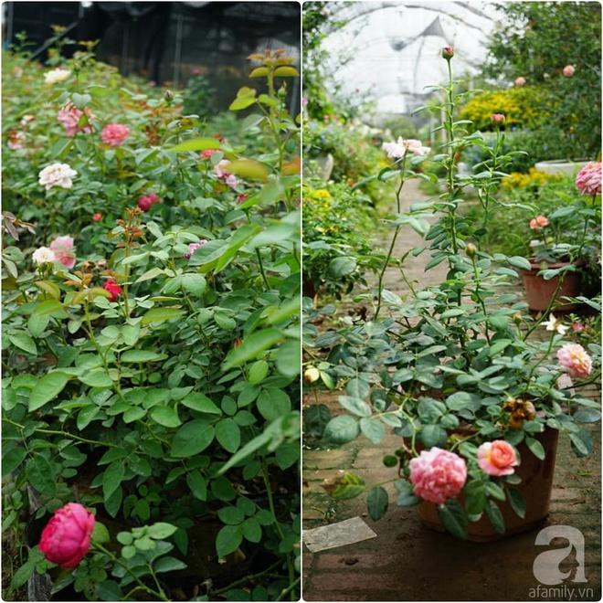Nữ thạc sỹ nông nghiệp sở hữu các khu vườn hoa hồng với 600 giống hồng nội và ngoại đủ màu sắc - Ảnh 5.