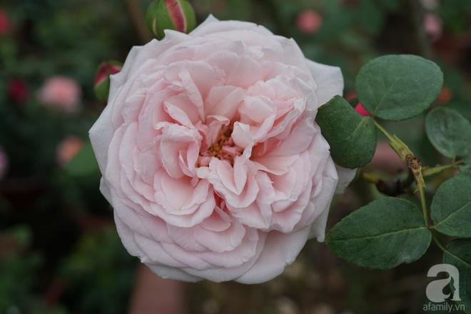 Nữ thạc sỹ nông nghiệp sở hữu các khu vườn hoa hồng với 600 giống hồng nội và ngoại đủ màu sắc - Ảnh 6.