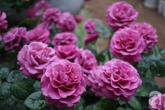 Nữ thạc sỹ nông nghiệp sở hữu các khu vườn hoa hồng với 600 giống hồng nội và ngoại đủ màu sắc - Ảnh 7.