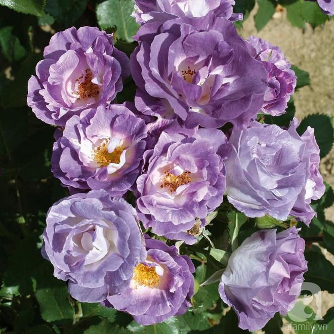 Nữ thạc sỹ nông nghiệp sở hữu các khu vườn hoa hồng với 600 giống hồng nội và ngoại đủ màu sắc - Ảnh 12.
